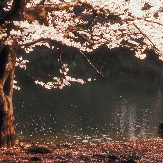 A visit to Japan in May is a good time to see the country's famous cherry blossoms.