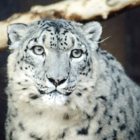 Estimates of the number of snow leopards existing in the wild are declining.