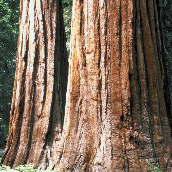 Lodgepole Campground is near many of the large sequoia trees for which the park gets its name.