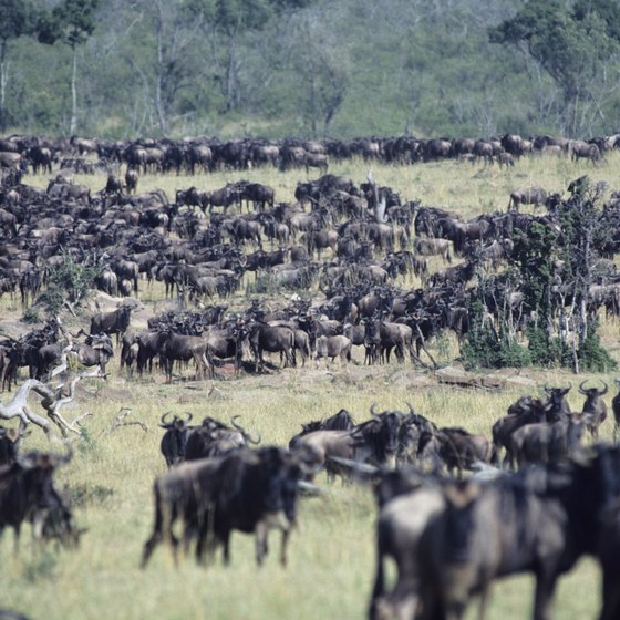 "Every year, thousands of wildebeests undertake ""the great migration,"" crossing the Serengeti in Tanzania"