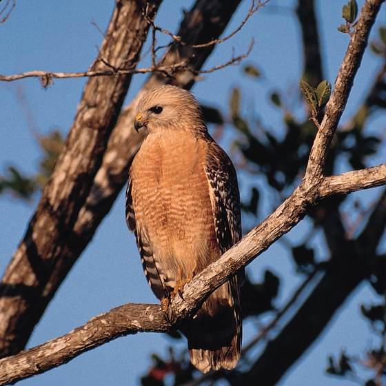 A red-shouldered hawk surveys Sanibel Island from the Ding Darling National Wildlife Refuge.
