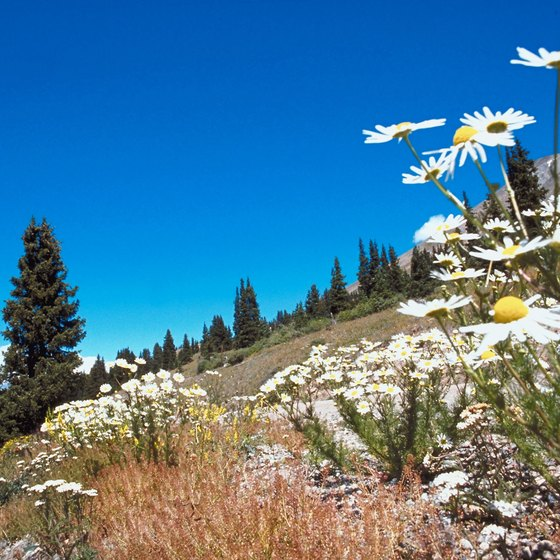 Enjoy spring wildflowers while camping in mountains near Breckenridge.