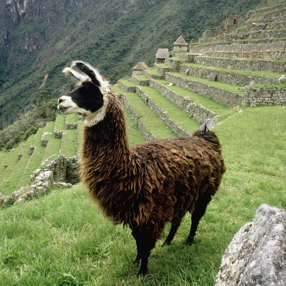 Children enjoy spotting llamas at Machu Picchu.