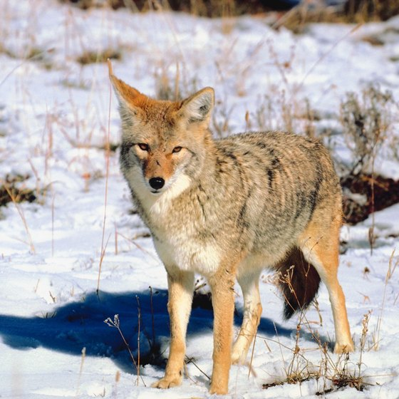 Signs & Symptoms of Rabies in Coyotes | Healthy Living