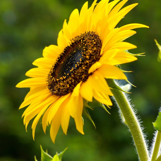 The seeds and oil from the sunflower are rich in vitamin E.