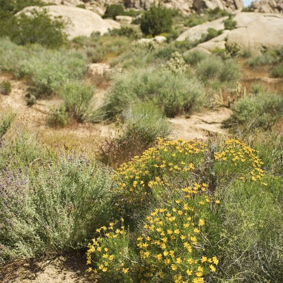 Beautiful plants grow in an otherwise unforgiving desert around Needles.