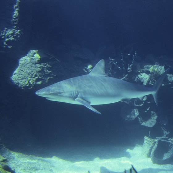 Shark fishing is an activity for the more adventurous angler.