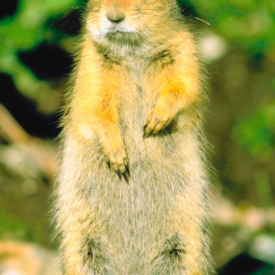 "The ""picket pin"" posture enables ground squirrels to see better."
