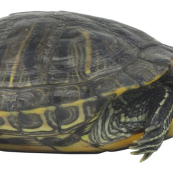The common red slider turtle lives in streams, ponds and rivers throughout Arkansas.