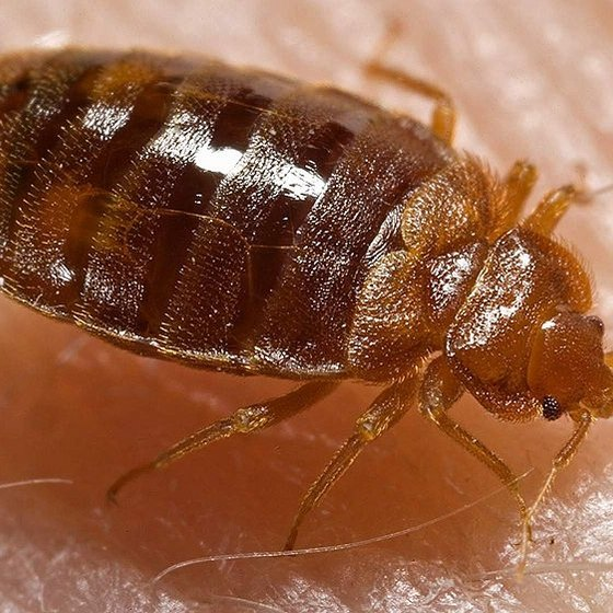 How Do Bedbugs Travel?