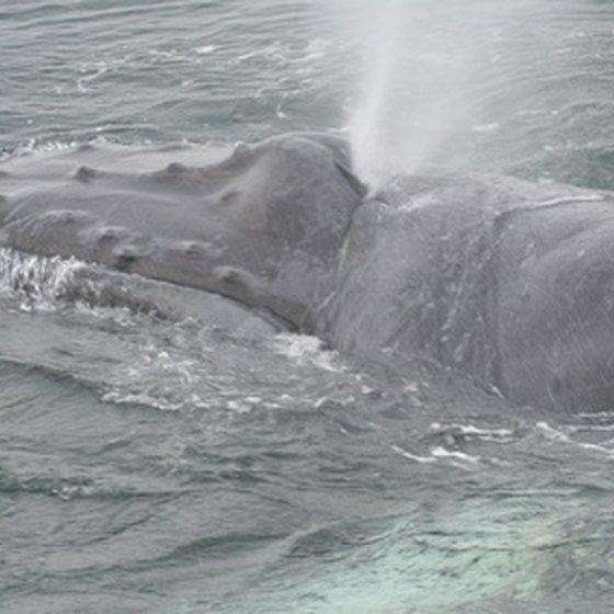 Humpback whales sometimes visit the South Carolina coast.