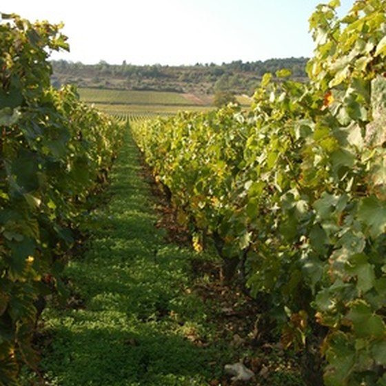 Pinot Noir and Chardonnay grapes are grown in the Burgundy wine region.