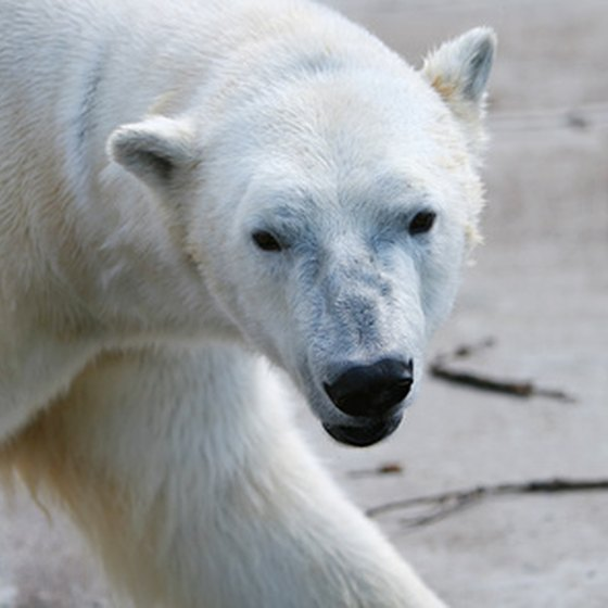 Polar bears are just one of the creatures visitors come across in Alaska.