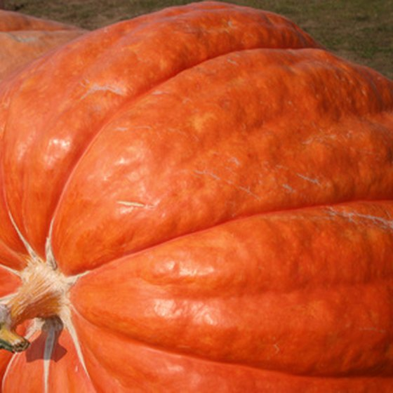 Giant pumpkins are judged at Cobleskill's Pumpkin Festival.