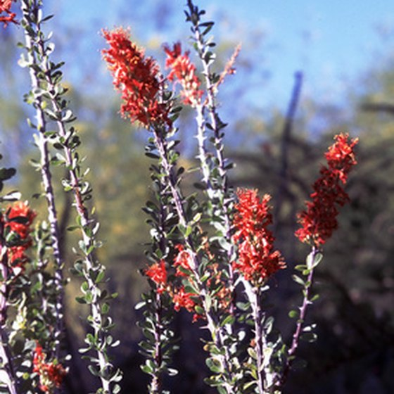 The ocotillo plant is common near Salome, Arizona.