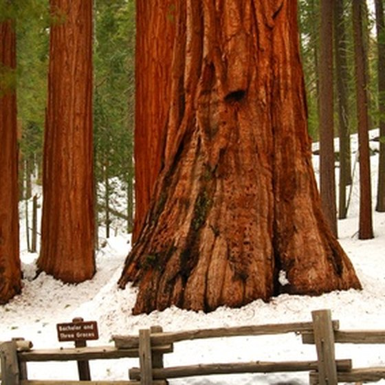 A redwood forest in the winter.