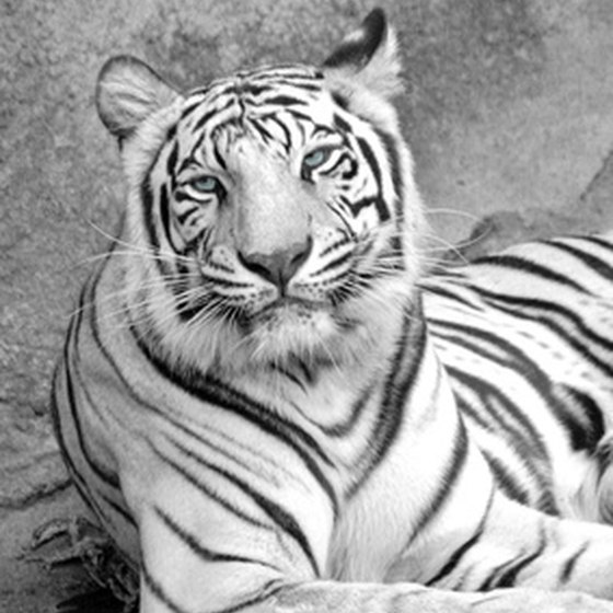 Montgomery Zoo features animals like the white tiger.