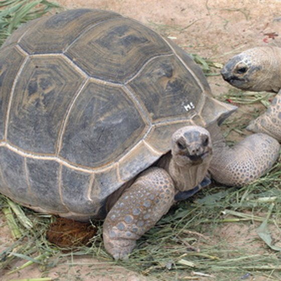Giant Galapagos Tortoises are part of the wildlife of the Galapagos Islands.