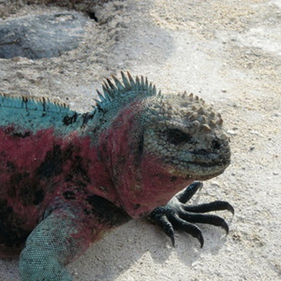 See colorful marine iguanas on a cruise of the Galapagos Islands.