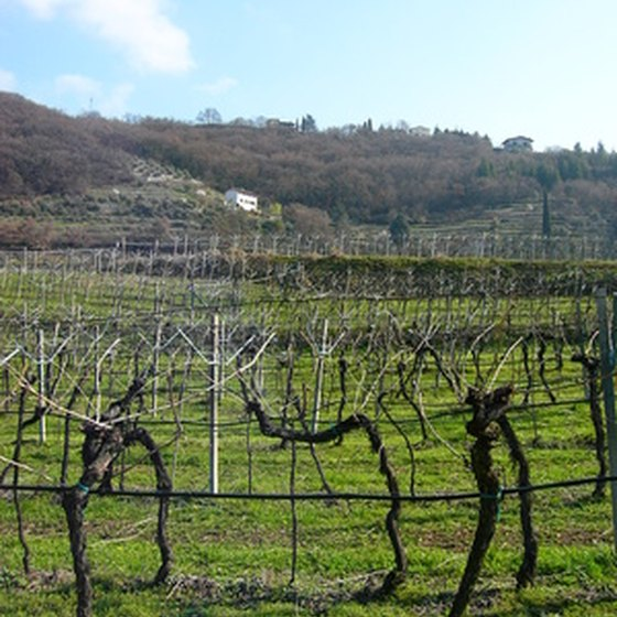 Escorted tours will take you through vineyards in Le Marche, Italy.