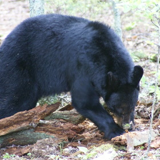 About 1,500 black bears live in Great Smoky Mountains National Park.
