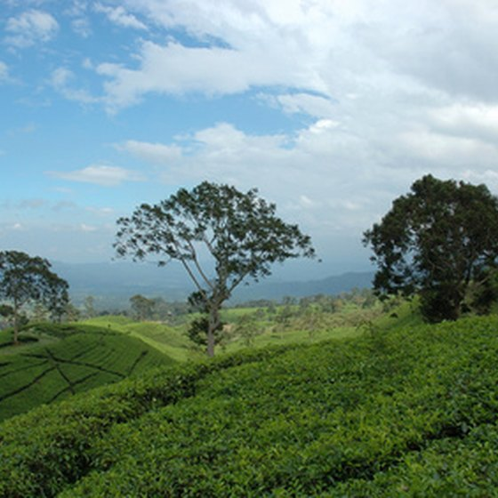 Tea is a major focus of Malaysian rural tourism.