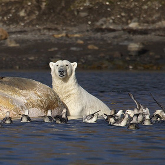 Cruises to Baffin Island give you the chance to see polar bears.