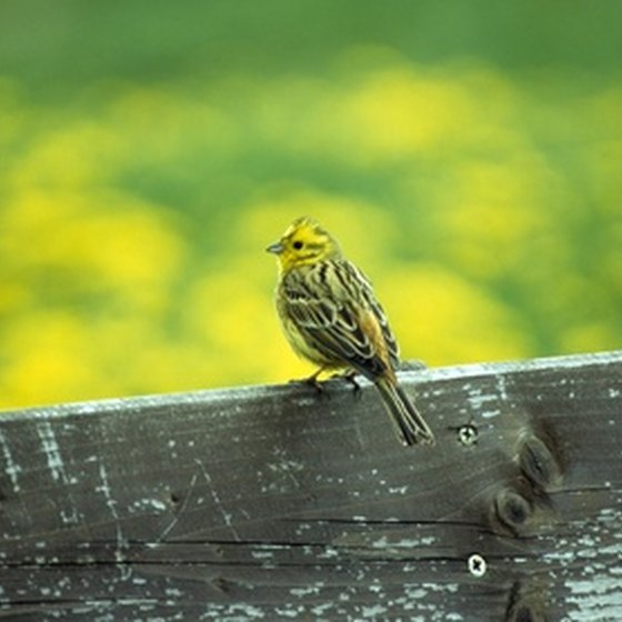 Alabama's state bird is the yellowhammer.