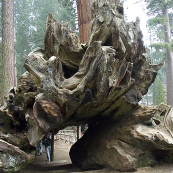 Redwoods can dwarf even the tallest humans.