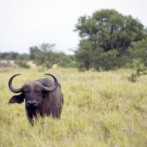 Africa is known for its difficult-to-hunt wildlife.