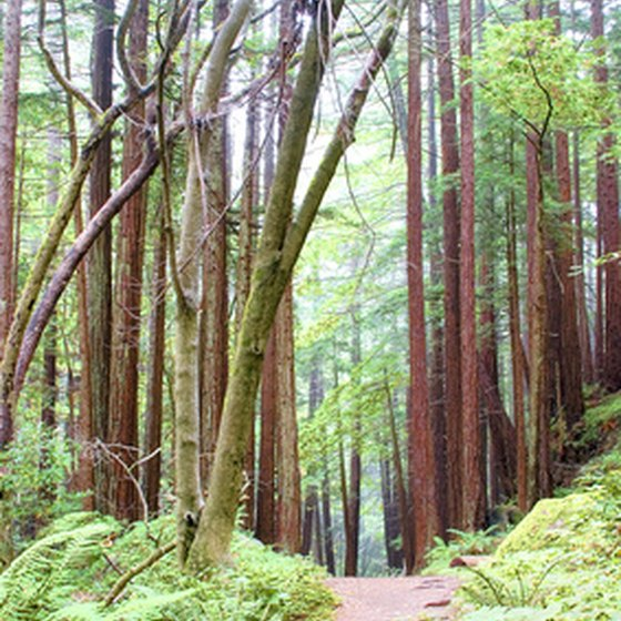 Redwood forest hiking path.