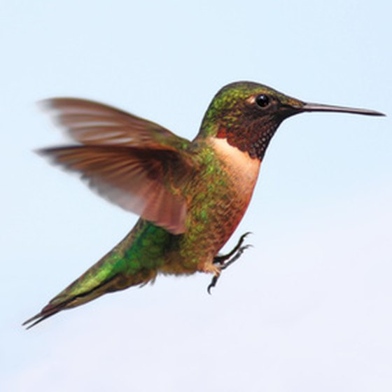 Ruby-throated hummingbirds follow a migration path through the Houston metropolitan area and can be spotted seasonally at the Houston Arboretum.