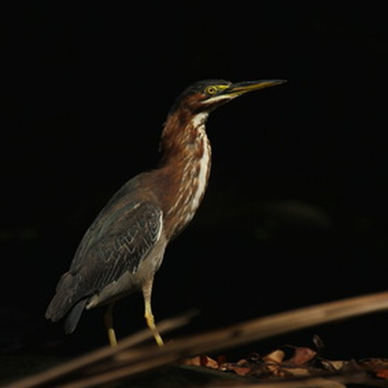 The jungles of Panama are home to a wide variety of birds.