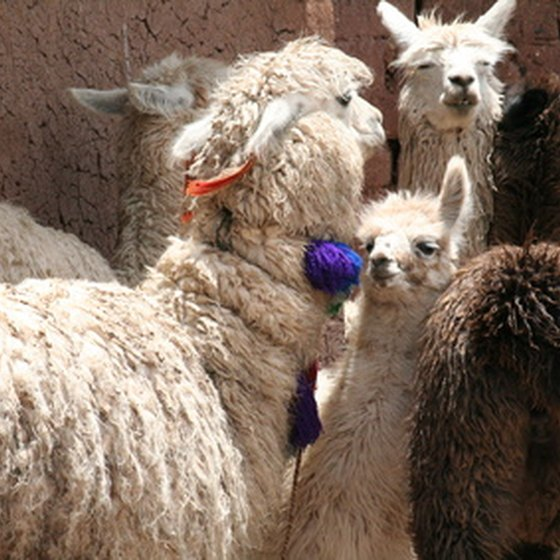 Peru is home to Andean Llamas