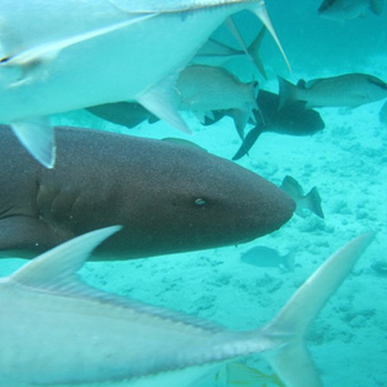 Shark Ray Alley is a popular diving area off the Ambergris coast.