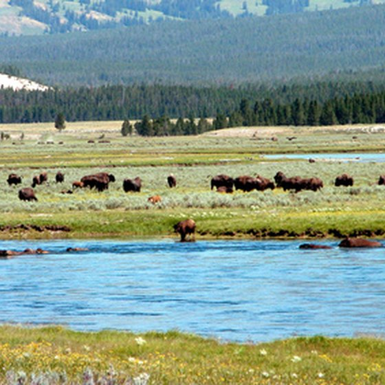 Yellowstone National Park is home to a wide variety of wildlife.