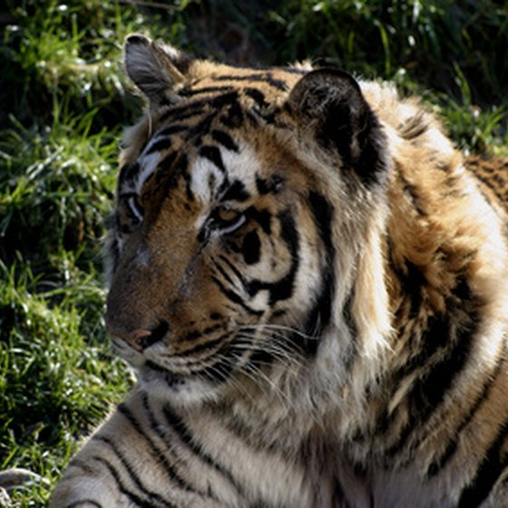 Rescued tigers make their home at the Tiger Creek Wildlife Refuge in Tyler, Texas.