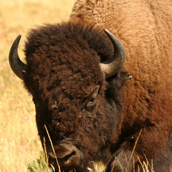 Herds of bison, Wyoming's state mammal, can be seen just outside of Cheyenne.