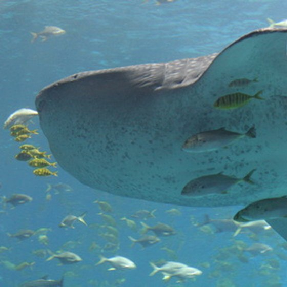 Many divers travel to Wolf and Darwin Islands just to see a whale shark.