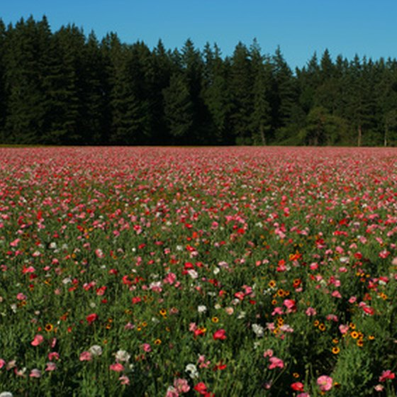 Field of flowers along Oregon highway