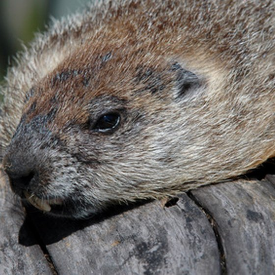 The woodchuck is just one of many forest animals that inhabit Baxter.