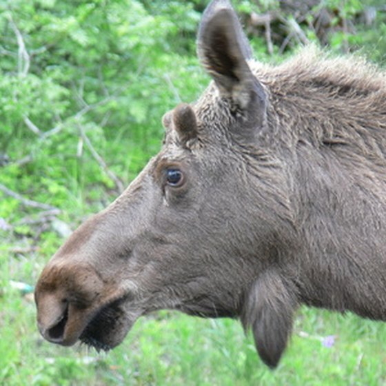 Moose are commonly seen in Alaska, even at times in downtown Anchorage.