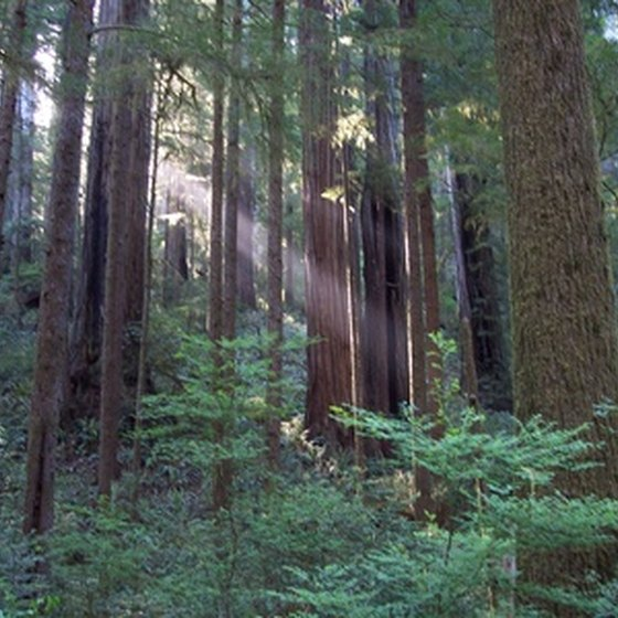 California's majestic redwood trees thrive in the moderate coastal climate of Redwood National Park