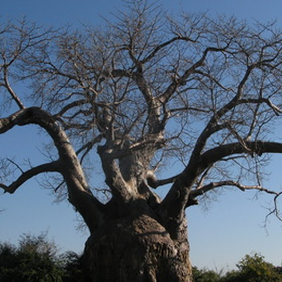 Baobab trees grow all over Africa.