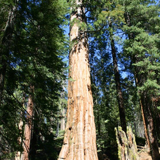 Giant sequoia trees are among the attractions for RVers.