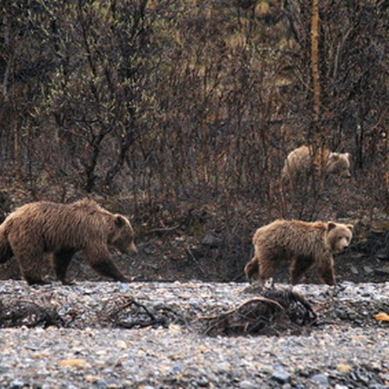 Grizzlies coming to a river in Denali.