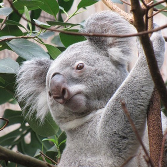 The Koala is native to Australia.
