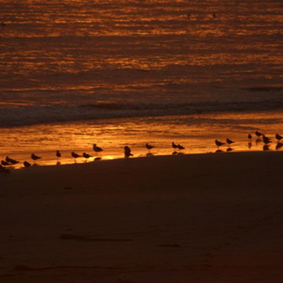 Snowy plovers scamper along the shores at Half Moon Bay.