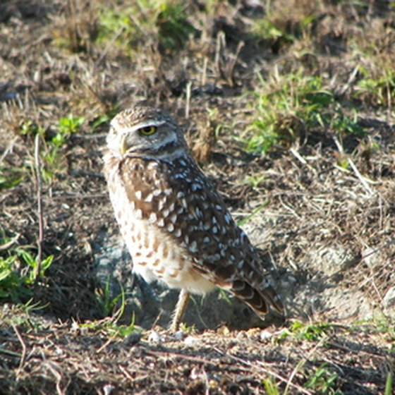 You might see a burrowing owl while camping in Minnesota.