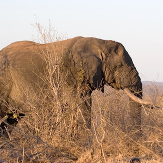Elephants are a common sight in Kruger National Park.
